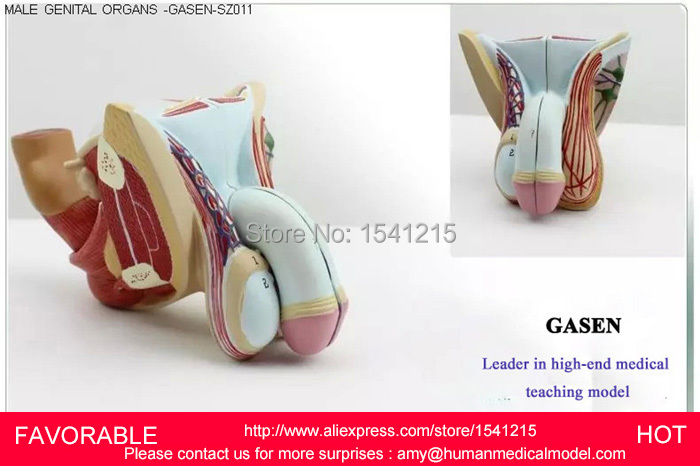 MALE REPRODUCTIVE SYSTEM MODEL ANATOMY OF THE MALE REPRODUCTIVE,MALE REPRODUCTIVE ,MALE GENITAL URINARY SYSTEM MODEL-GASEN-SZ011 female reproductive and urinary system model female pelvic model medical anatomy model female reproductive system gasen sz009