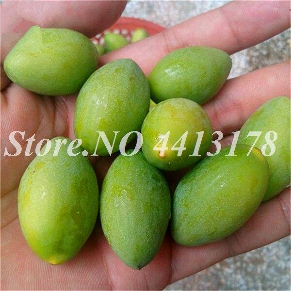 hinese_White_Olive_Fruit_Tree_Seeds_Online_Plant_Green_Olive_Tree_For_Canarium_Album_Gan_Lan__1_