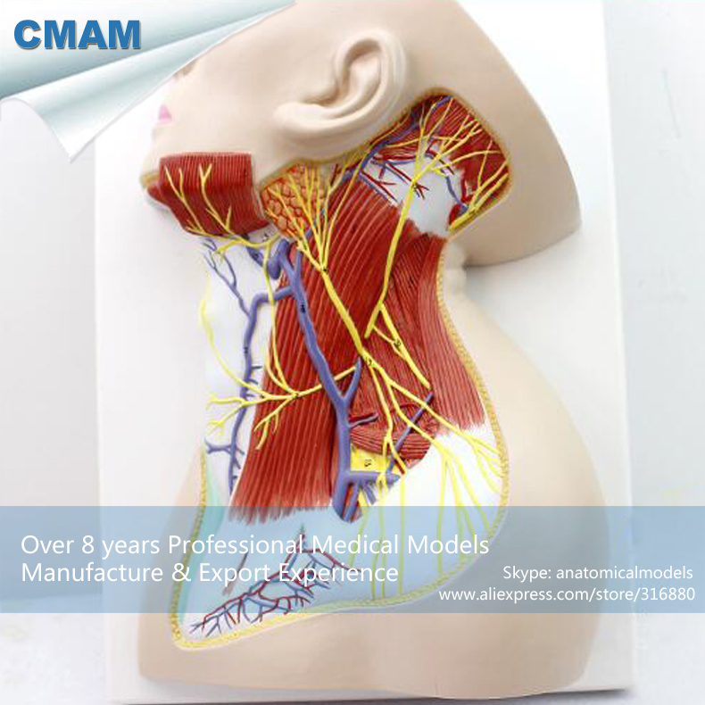 12418 CMAM-BRAIN20 Life Size Nerves of Neck Region Medical Science Anatomical Model 12461 cmam anatomy23 breast cancer cross section training manikin model medical science educational teaching anatomical models