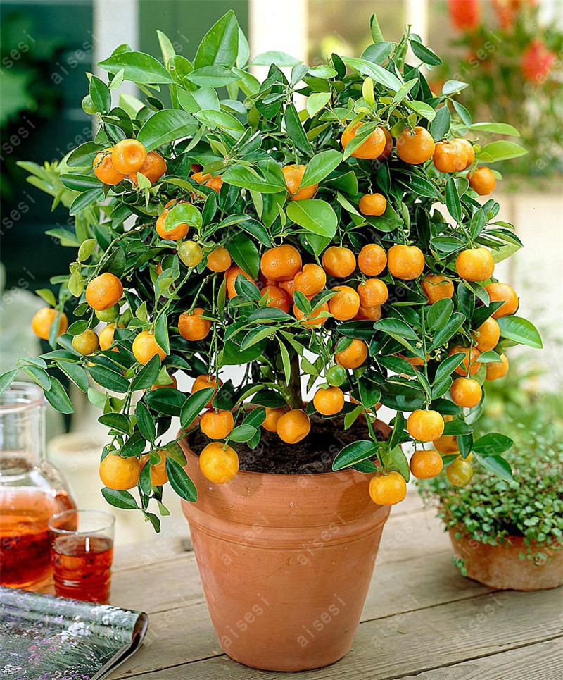 20 Orange seeds bonsai fruit tree seeds Planted Seeds Kumquat Tangerine Citrus for home garden planting