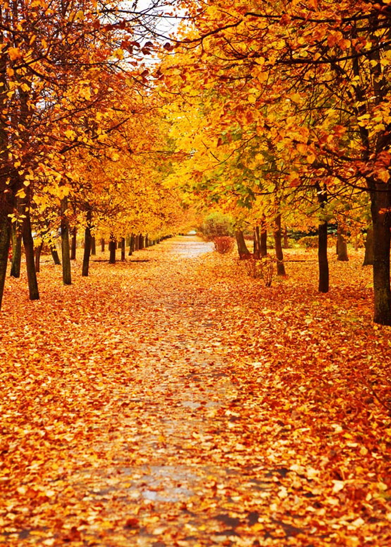 Tree With Leaves Falling Wallpaper Scenery Vinyl Cloth Autumn Maple Tree Fallen Leaves Road
