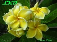 Plumeria Rubra Plants Rooted 7 15 Inch Frangipani Flower Daisy Bonsai Tree Plumeria Plants No19 Balipalace
