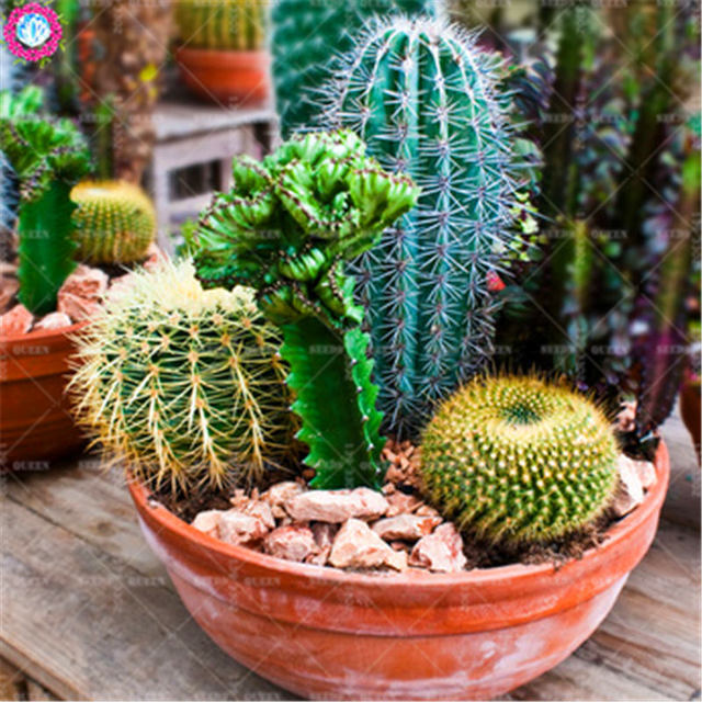 Prickly Pear Succulent Seeds (250 Pieces)
