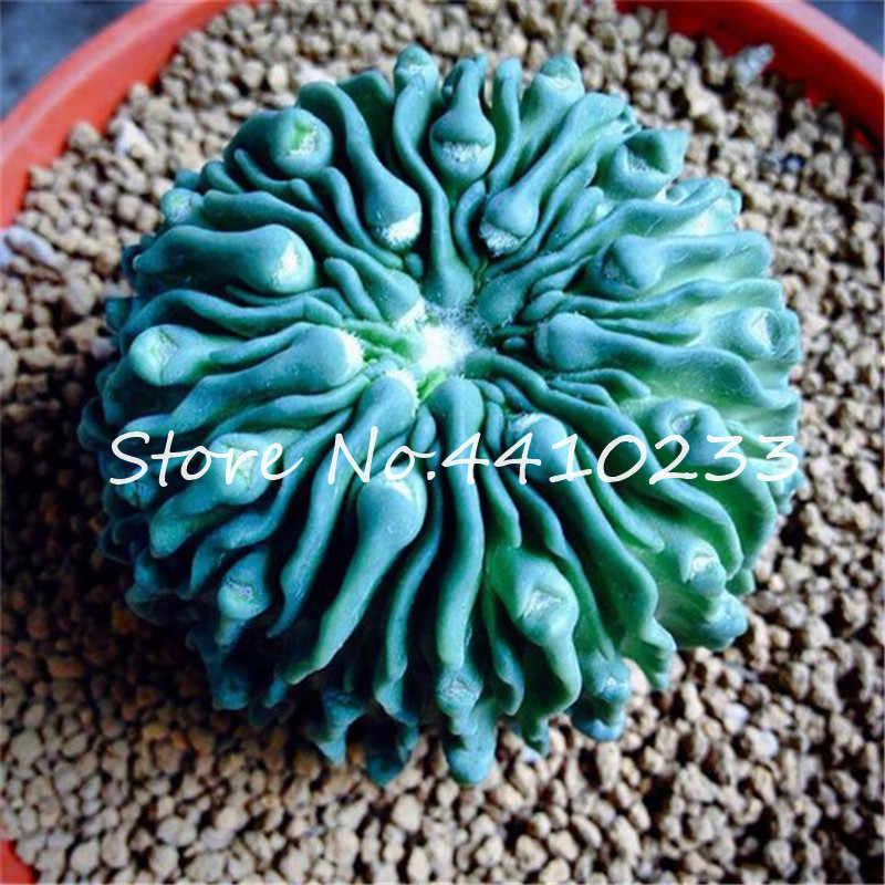 100 ピース多肉植物ミニ盆栽虹 Lithops サボテン盆栽美しい花 Pseudotruncatella 多年生盆栽用