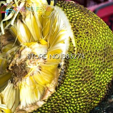 5pcs Japan Fresh Jackfruit Seeds Best Seeds Online