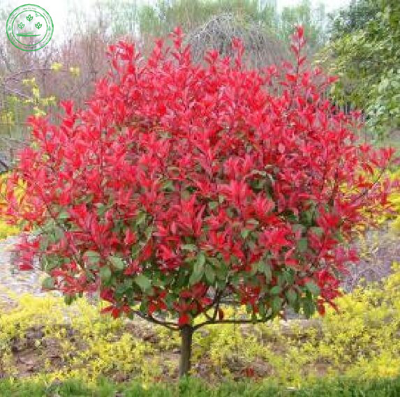 New Home Garden Plant font b Photinia b font Fraseri Frasery Serrulata font b Red b - Compare Supermarket Prices