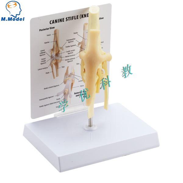 Perro rodilla ligamento articular estructura básica modelo en ...