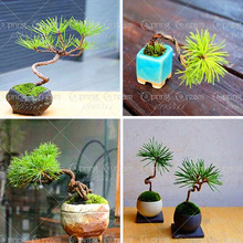 20pcs/Bag Japanese Black Pine Tree Seeds Bonsai Courtyard Garden Bonsai Plant Pine Tree Seedseasy growing DIY home garden