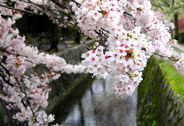 5 Seeds Home Garden Plant Japanese Cherry Tree Pinkwhite Cloud