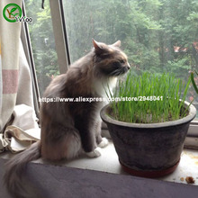 Cat grass  Grass Very Beautiful Garden Plants Decorative DIY 100 PCS W011