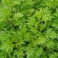 Бесплатная доставка 500 г Сладкий Полынь Травы Полыни однолетний Extact порошок