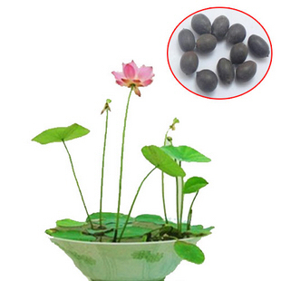 10 Pcs Many Colors Bonsai Bowl Lotus Flower Seeds Outdoor Indoor