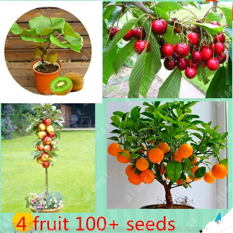 fruit tree seeds 4 KIIND easy grow tree include apple,kiwi,orange,cherry seeds for home garden planting