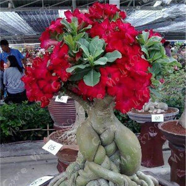 Best Top 10 Bunga Adenium Ideas And Get Free Shipping 3nhh377b