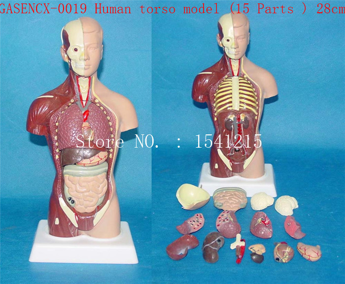 Human anatomy torso  Teaching  Medical  human torso model (Part 15) 28cm-GASENCX-0019 2 part anatomical healthy human uterus and ovary model female medical anatomy teaching supplies