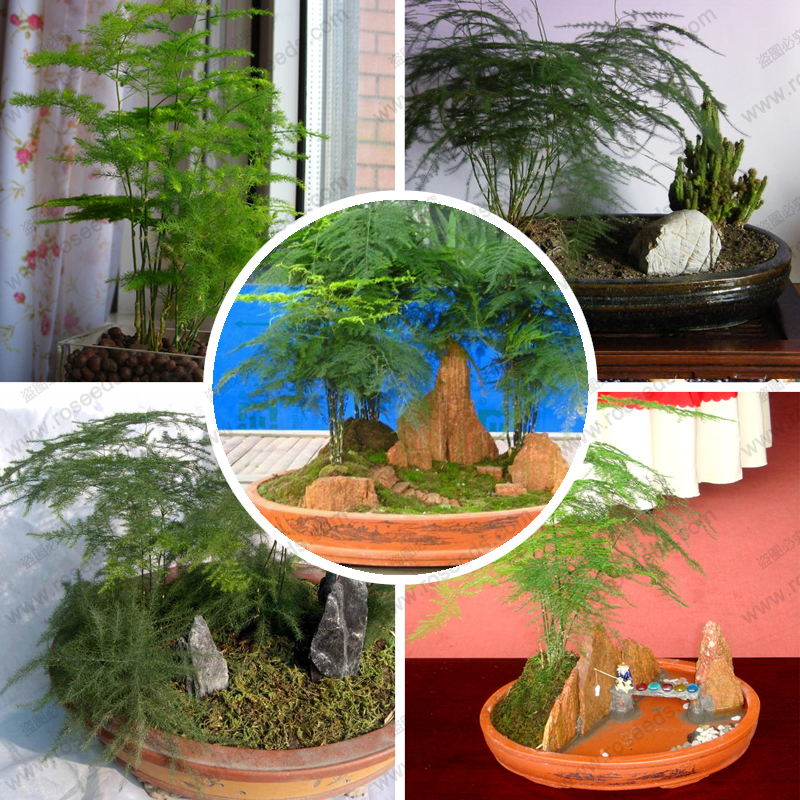 Online buy wholesale asparagus fern plants from china for Fern house plant seeds