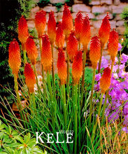 Big Promotion!100 PCS/Lot Kniphofia Flower Bonsai red hot pokers-plants So Pretty Long Blomming fiery-hued flowers light,#XB(China)