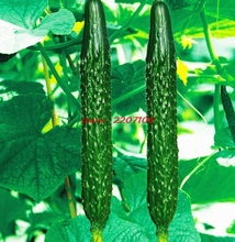 Free shipping 50 cucumber cultivation, Green vegetables seeds, gardening supplies
