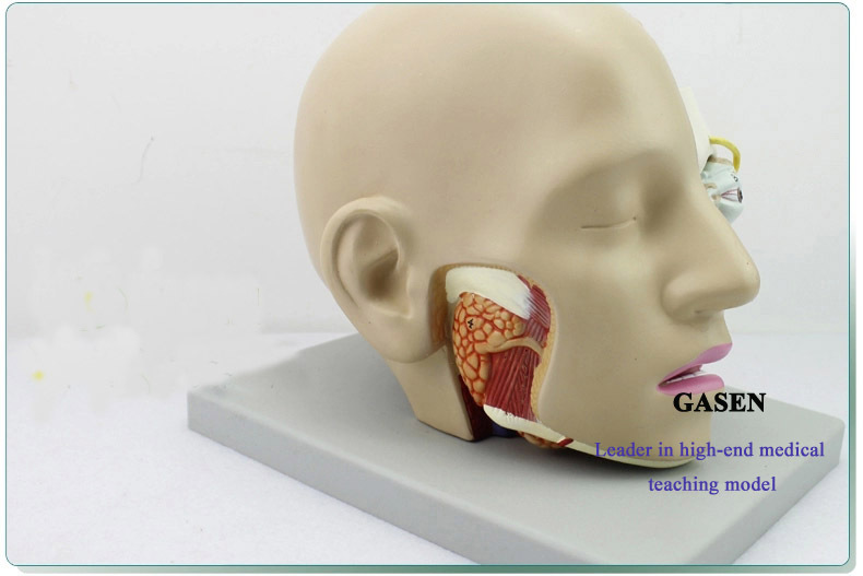 HUMAN BRAIN FOR MEDICAL DEPARTMENT OF ANATOMY MIND MOUTH NOSE THROAT ...