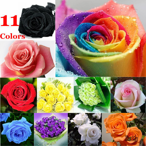 50Pcs/Lot,11Color ROSE SEEDS Red Blue Purple Green Pink
