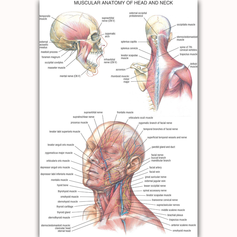 Mq2101 Health Chart Human Anatomy Head And Neck Body Picture Hot Art