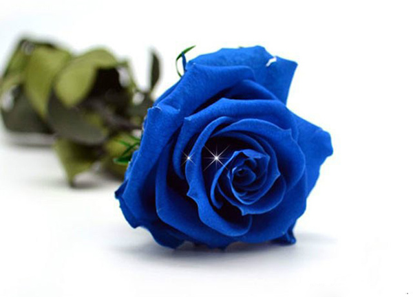 Flower Seeds Blue Ogilvy Rose Flower Seeds Blue Rose Heat Resistant Cold 50 grains ...