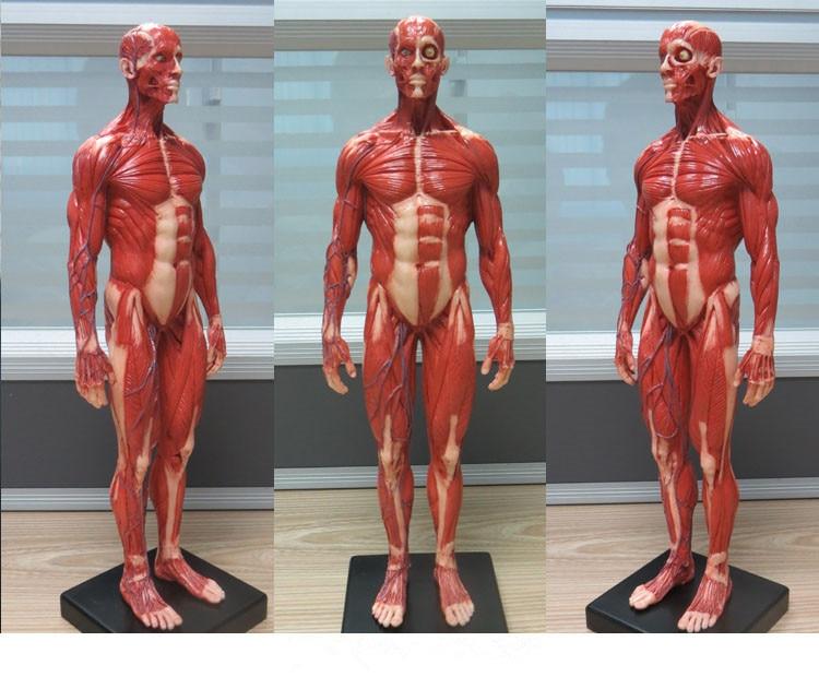 30cm Height Human Anatomical Anatomy Skull Blood Sculpture Head Body