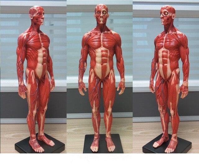 Männlichen 1:6 Anatomie abb v.3 oberflächliche muscle system ...