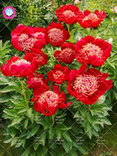 10pcs Big flower peony plant red Chinese rose beautiful bonsai potted for home garden decoration