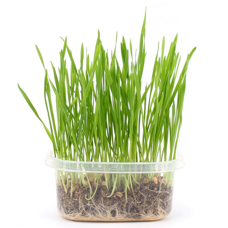 Pet Cat Grass Growing Kit Organic Cat Hairball Treatment Pet Snacks Treatment Indoor Healthy Treats Kitten Food image