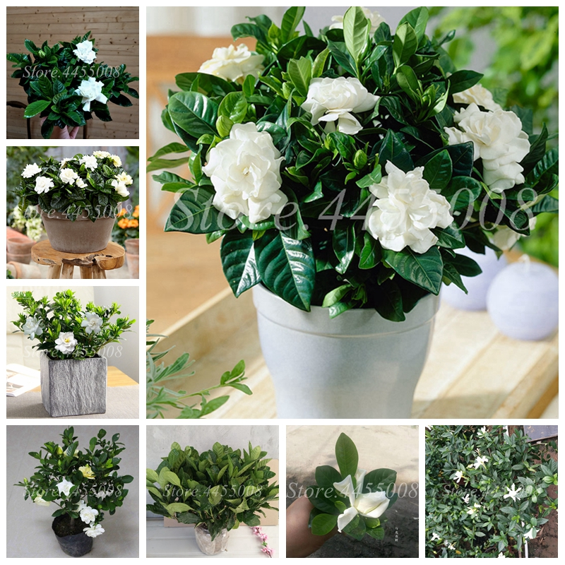 500 Pcs/ Bag Bonsai Gardenia Jasminoides Flower Outdoor Fragrant Flowers White Cape Jasmine Blooming Flore For Home Pot Planters