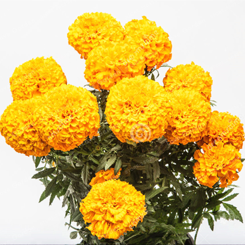 Африканский календулы Французский календулы трав tagetes erecta цветок семена Бархатцы цветок для дома сад растений 100 шт./пакет