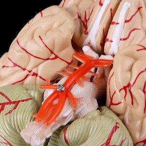 Image 5 - מפורק אנטומי מוח דגם האנטומיה הוראה רפואית כלי