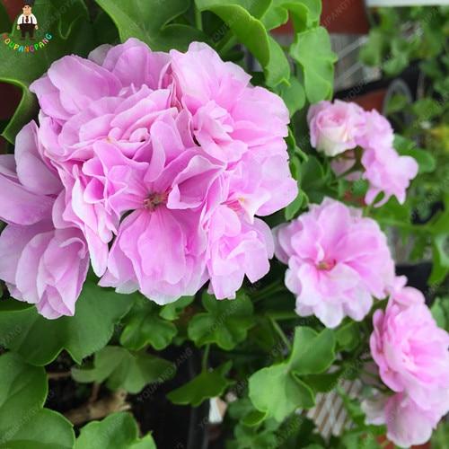 50 pz Rare Geranio Pianta Variegato di Geranio In Vaso Winter Garden Piante Da Fiore Bonsai Fiore In Vaso Plantas Per La Casa