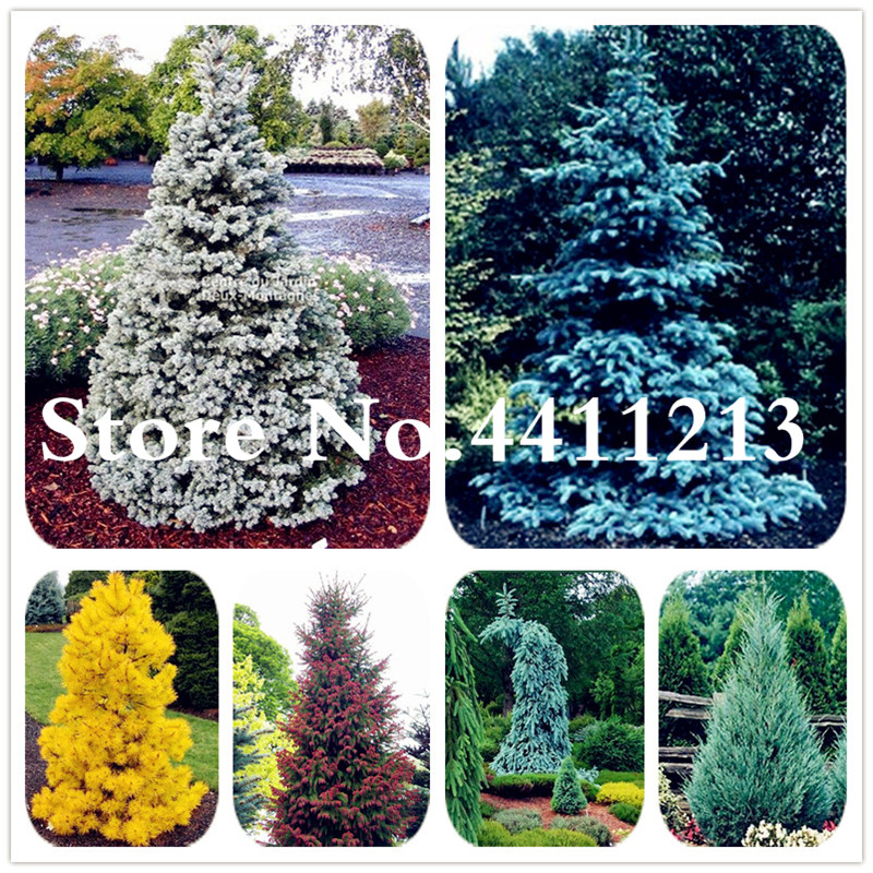 2018 Hot Sale Climbing Blue Spruce Bonsai Evergreen Colorado Bonsai Tree For Home & Garden Plant Tree -30 Pcs Free Shipping
