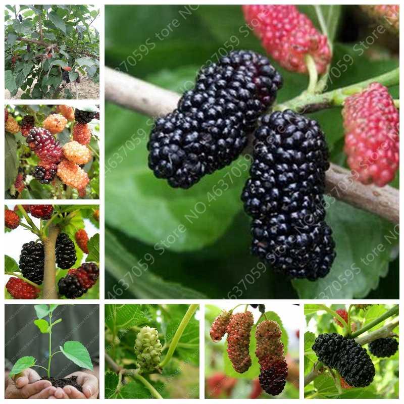 100 Pcs Rare Mulberry Bonsai Rare Berry Tree Exotic Plant