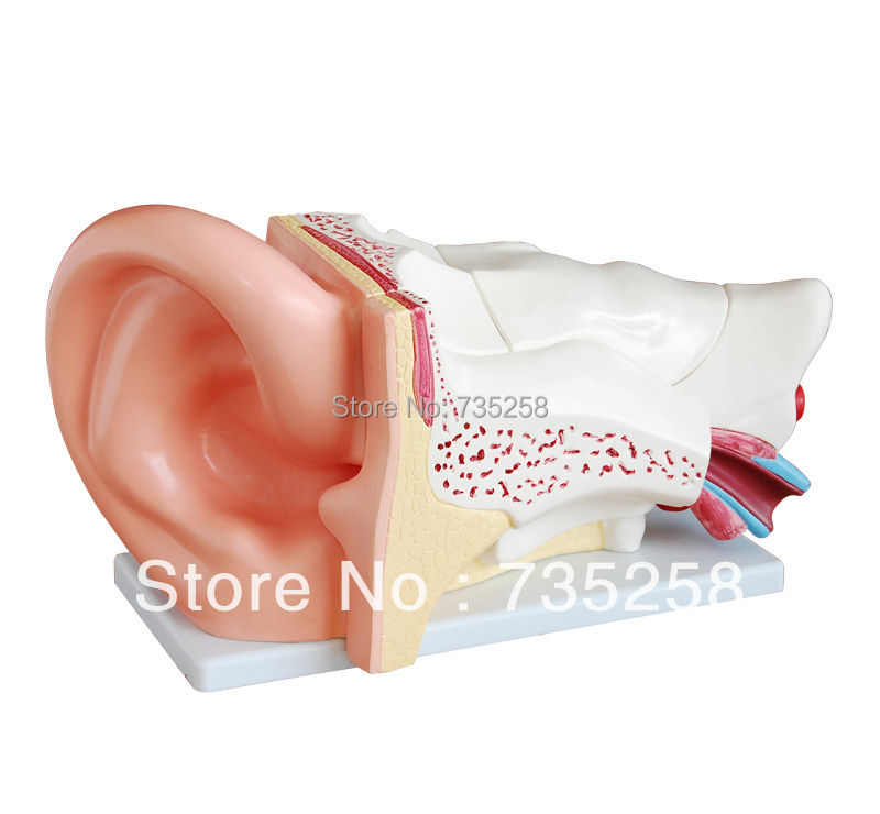 New Style Giant Ear Model,Human ear anatomy model iso new style giant ear model anatomical ear model