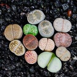 Grüne pflanze Bonsai lithops Pseudotruncatella büro desktop decor grün pflanzen PP stein blumen 80-100 stücke