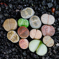 Green plant Bonsai lithops Pseudotruncatella office desktop decor green plants PP stone flowers 80 100pcs
