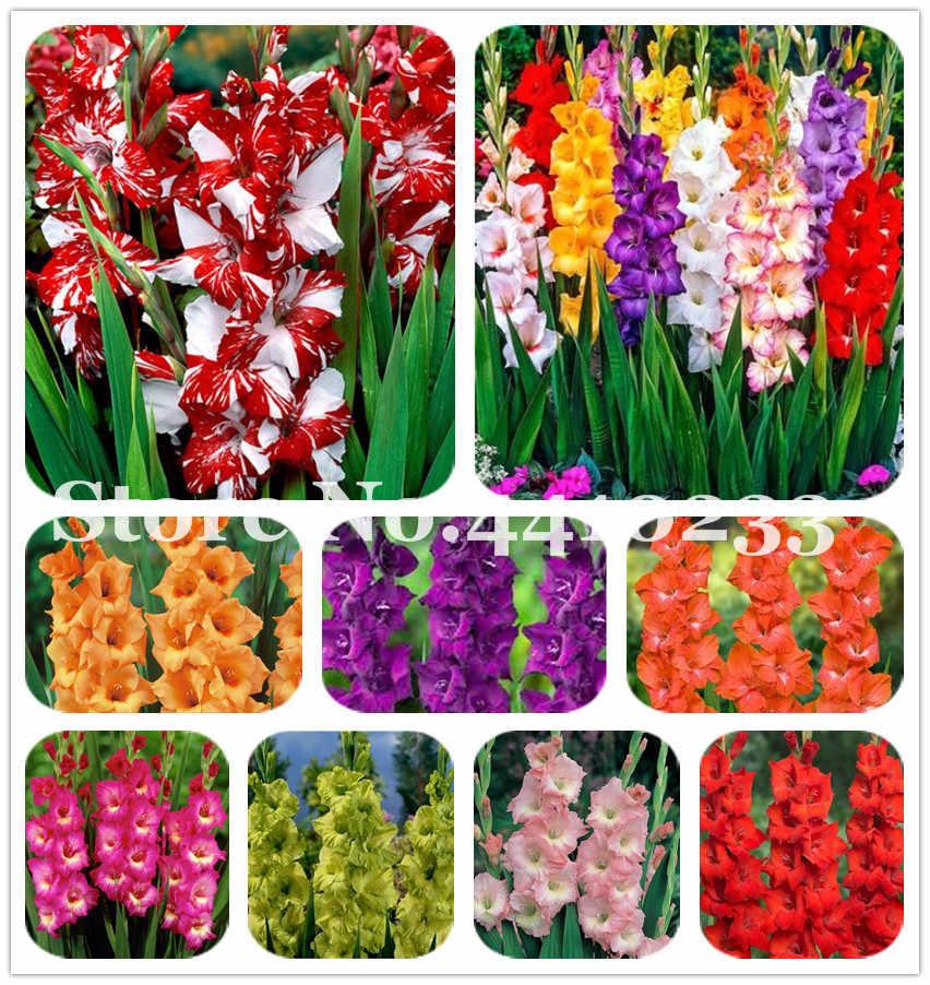 Многоцветный цветок гладиолус (не гладиолус лампочки), сделай сам аэробный в горшке, редкий меч лилии растения бонсай цветы для дома и сада-120 шт