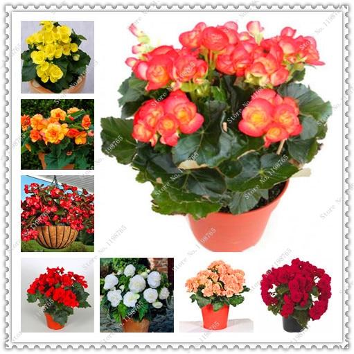200 pcs/bag begonia seeds perennial flower seeds courtyard balcony bonsai plant for home garden
