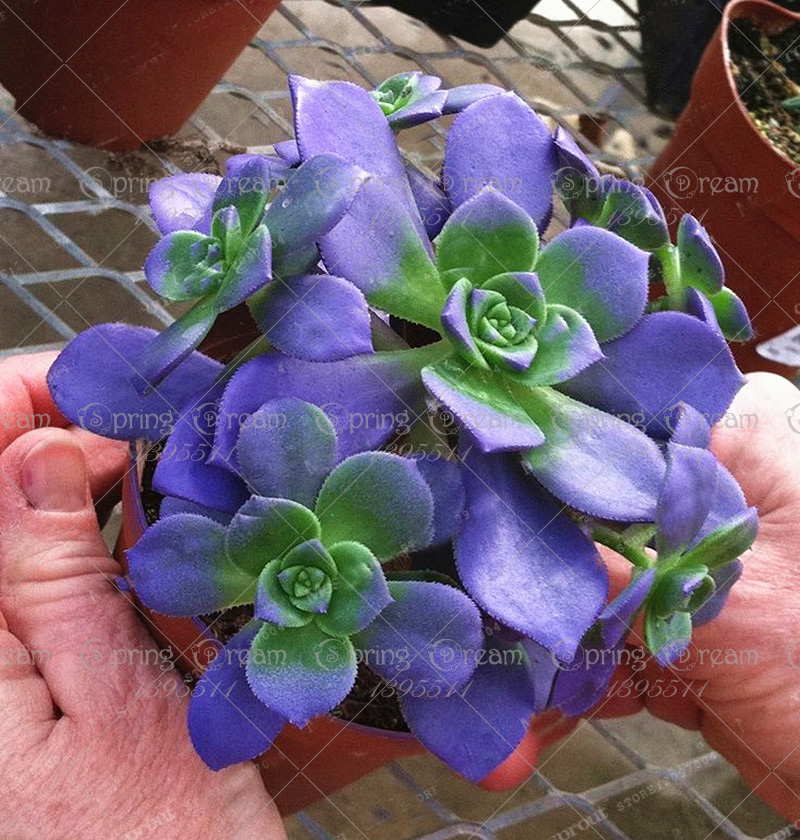 100pcs Japanese Succulents Seeds Rare Indoor Flower Mini Cactus Seeds flower plant bonsai seed for home garden