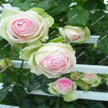 2016 New Arrival 5 Pcs Chinese Rare Peony Flower  Seeds Exotic Beautiful Bonsai Indoor&Outdoor Planted For Garden&Home Hot Sale