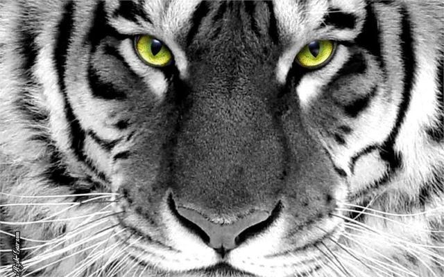 Close Up Hewan Tigers Ex313 Mewarnai Selektif Hitam Putih Ruang Tamu