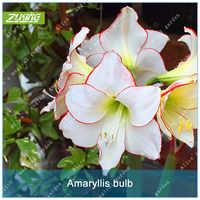 ZLKING 1 pièces énorme (20-25 cm) Amaryllis bulbes bonsaï lys pas balcon fleur Hippeastrum bulbe hydroponique racine plantes fleur