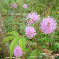 mimoplanta flower plant graplantplant Pachou graplantplant feeding graplantplant 200g / Pack