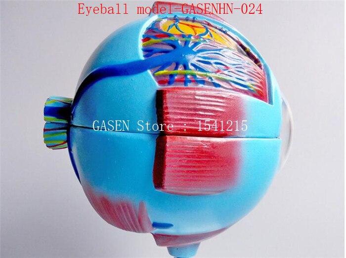 Anatomical Model Of Human Eyeball Structure Teaching Teaching