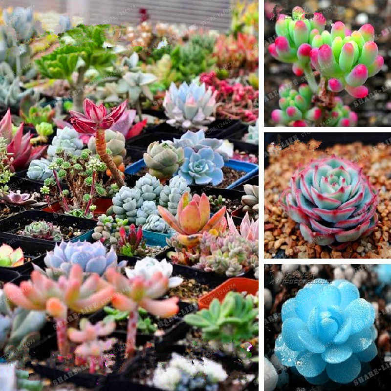 300 Pcs/pack Mix Succulent Bonsai Lotus Lithops Pseudotruncatella Bonsai Plants For Home & Garden Flower Pots Planters