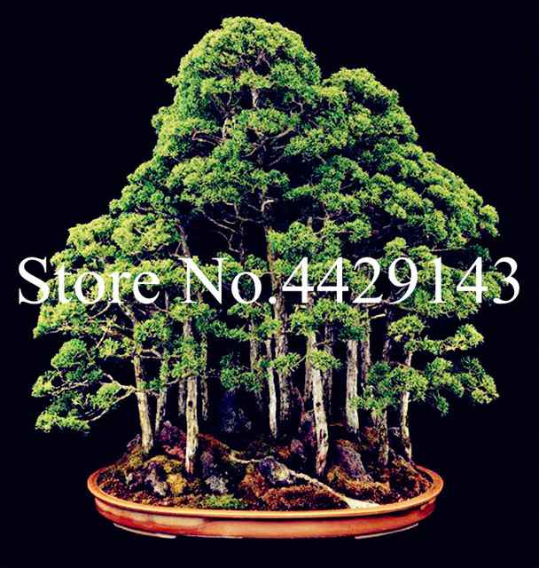 100 Pcs Dawn Redwood Bonsai Tree Grove Metasequoia Glyptostroboidesdiy Home Gardening Very