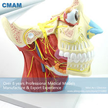 CMAM-BRAIN03 Enlarged 2.5x Life Size Medical Anatomical Head Brain Neural Model